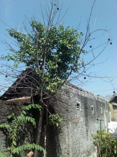pohon melati yang menggantung pada pohon srikoya yang sudah mati